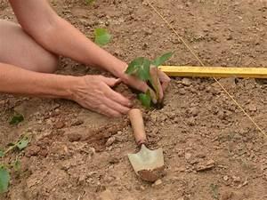 Culture De La Patate Douce : quand planter les patates 2017 ~ Carolinahurricanesstore.com Idées de Décoration