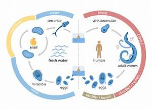 What is schistosomiasis? Facts yourgenome org