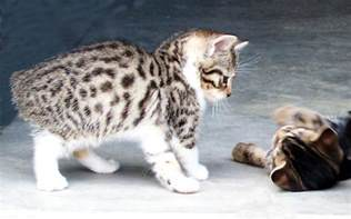 manx cats for bengal manx kittens cats breeder bengals cat ben bob for