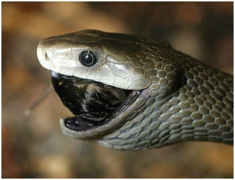 top   dangerous black mamba snake wallpapers  hd