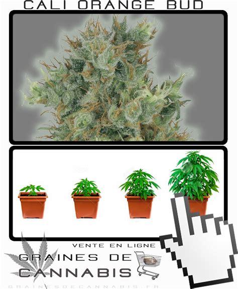 faire pousser cannabis en exterieur california orange bud