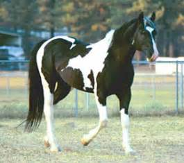 Image result for piebald horse wallpaper