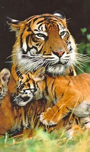 Siberian Tiger   The Life of Animals