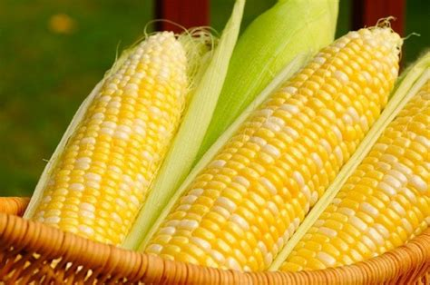 Scientists petition for full-scale GM maize farming ...