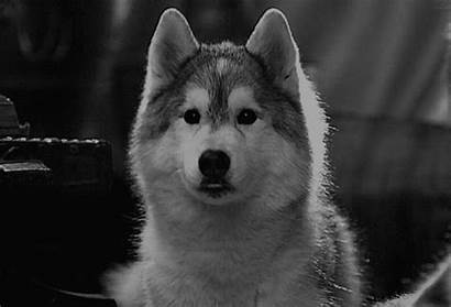 Husky Dog Puppy Adorable