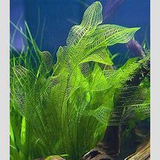 Aponogeton Madagascariensis  Aquarium  Fish Tank
