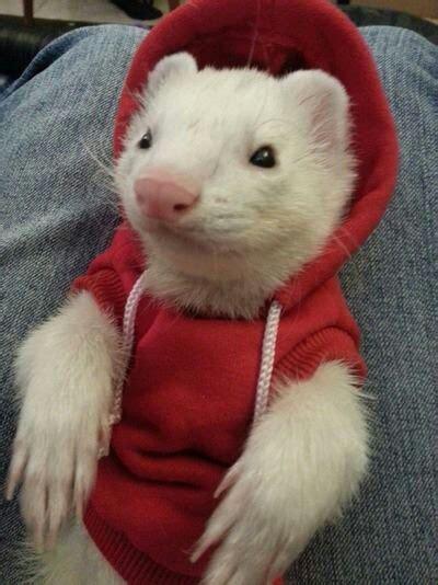 ferret sweaters 9 ferrets you should meet on day 4 of ferret week