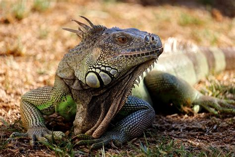 reptiles mammals difference animals between reptil lizard animal leguan figure