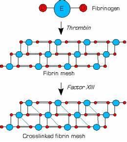 Factor XIII - Wikipedia  Factor