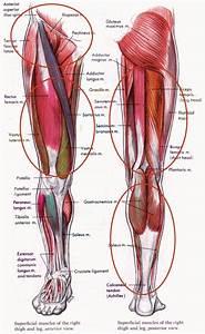 Quadriceps Muscles Anatomy - Human Anatomy Diagram