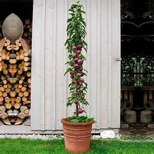 Säulen Pflanzen Winterhart : s ulen apfel blue moon s online kaufen bei g rtner p tschke ~ Frokenaadalensverden.com Haus und Dekorationen