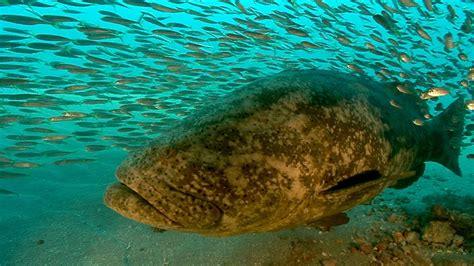 grouper goliath jonathan webisodes bird
