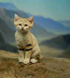 sand cat for the sand cat desert cat extraordinaire the ark in space