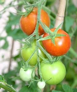 Wann Ist Kürbis Reif : gartentipps wann sind tomaten reif tomaten gartentipps und wanne ~ Watch28wear.com Haus und Dekorationen
