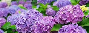 Wie Pflege Ich Hortensien : wie pflege ich meine hortensien richtig pflanzen a z ~ A.2002-acura-tl-radio.info Haus und Dekorationen