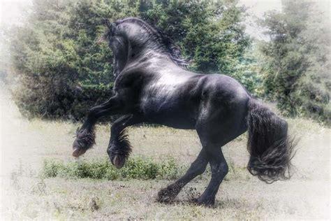 cashmere friesian sport horses  equinenow