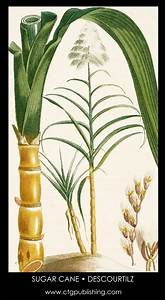 Sugarcane Illustration by Descourtilz
