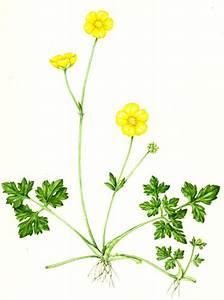 Botanical Illustration  The Achene