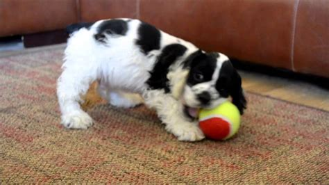 Members of the american spaniel club for over 35 years. Cory an adorable male blackwhite parti cocker spaniel puppy for sale - YouTube