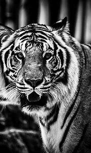 Bengal Tiger | Busch gardens tampa, Bengal tiger, Bengal