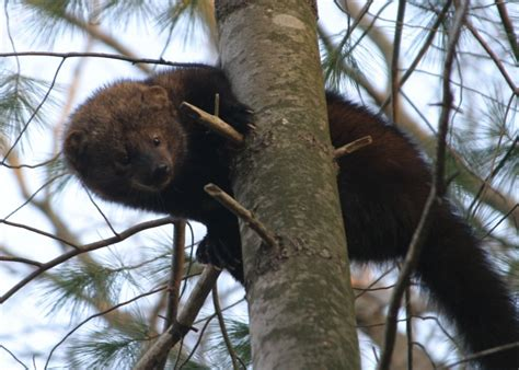 Fisher Cats In Hampstead, New Hampshire