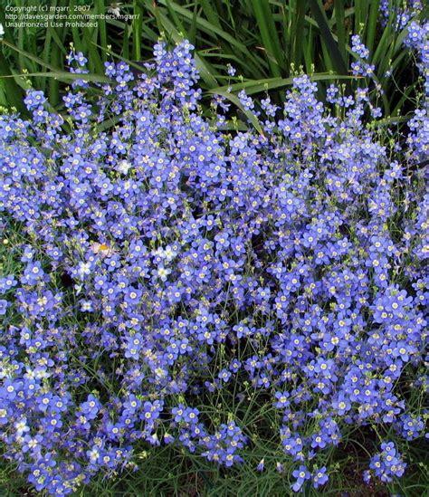 plantfiles pictures heliophila species blue diamonds