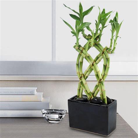 entretien lucky bambou d interieur bambou en pot et lucky bambou entretien et symbolique
