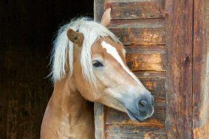 periodische augenentzuendung oder mondblindheit beim pferd