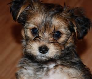 24 pictures of shih tzu yorkie mix a k a shorkie and breed info animalso