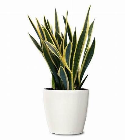 Plants Ornamental Decor Planta Indoor Plant Snake