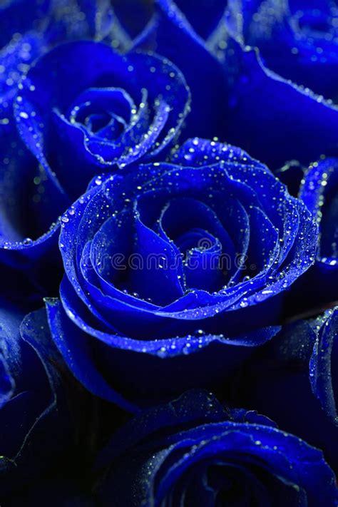 beautiful blue roses stock image image  affection