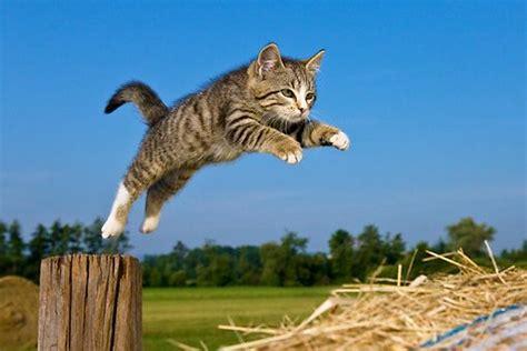 cat  kh  tabby kitten jumping  wooden post