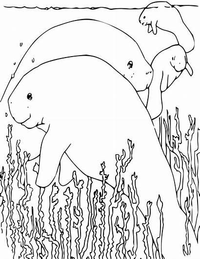 Manatee Coloring Pages Animals Manatees Printable Sea