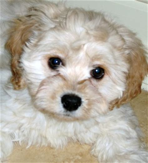 Do Cavachons Shed by Cavachon Puppies Pictures Of The Cavachon