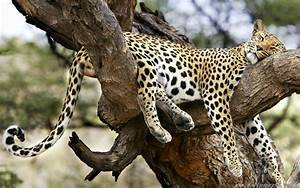 leopard on the tree sloth gepard - Animal Wallpapers ...