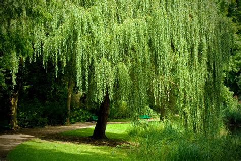 growing  weeping willow tree salix babylonica