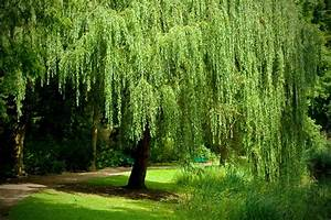 Growing a Weeping Willow Tree in the Home Garden