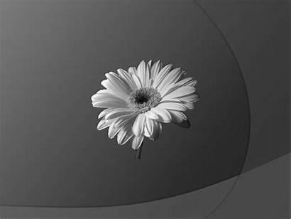 Flower Wallpapers Desktop Background Gray Widescreen Dark