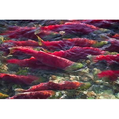 Massive Adams River Sockeye Salmon MigrationMasses of