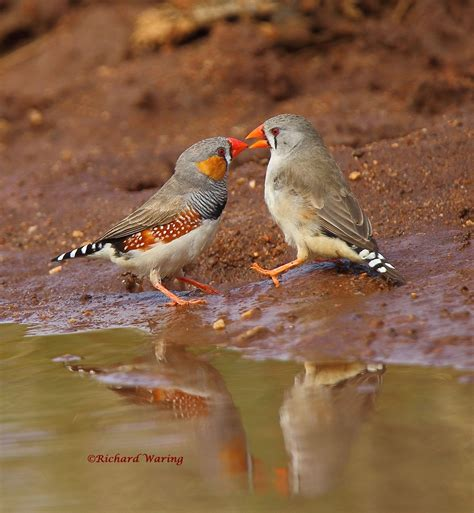richard waring s birds of australia a loving of