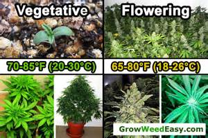 Growing Marijuana Flowering Stage