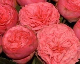 garden roses sunglow flowers