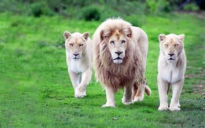 Lion Animals Nature Wallpapers Resolution Wildlife Desktop