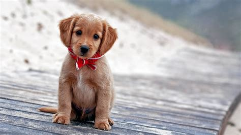 Cute Puppy Pictures Wallpaper HD Wallpapers Download Free Images Wallpaper [1000image.com]
