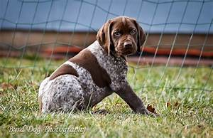 Adventures of a GSP Hunting Dog: Cleo and Pupdate: 7 Weeks ...