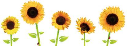 sunflowers png transparent images png all