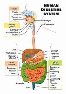 U0026quot Diagram Of The Human Digestive System U0026quot  Posters By
