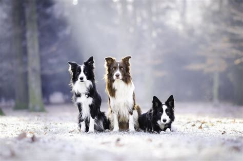 Animal Border Wallpaper - three border collies 4k ultra hd wallpaper and background
