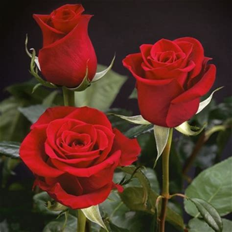 xxl extra extra long stemmed freedom red rose