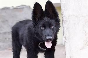 Black Shepherd Puppy | www.pixshark.com - Images Galleries ...